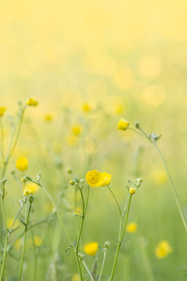 Free Buttercups Royalty Free Stock Photo - 25187985