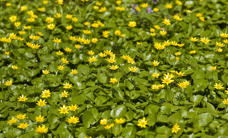 Download Buttercups stock image. Image of plant, yellow, flowering - 25209047