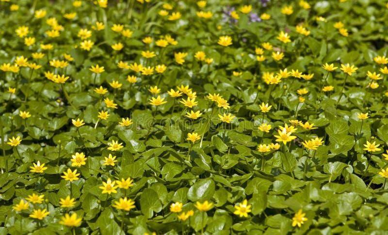 buttercups royaltyfri fotografi
