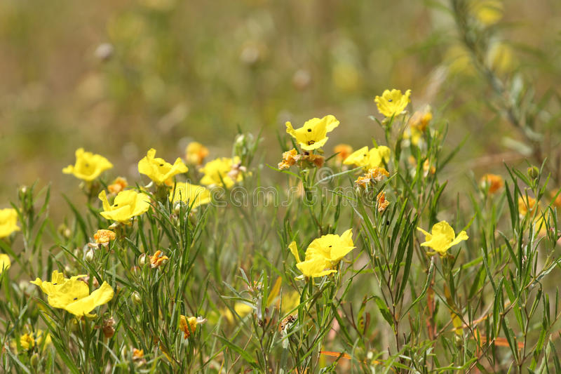 buttercups arkivfoto