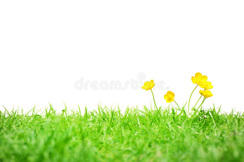 Buttercups isolated on white royalty free stock photography