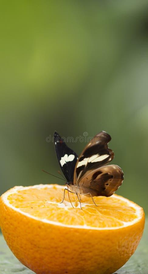 Butterffly på frukt arkivbild