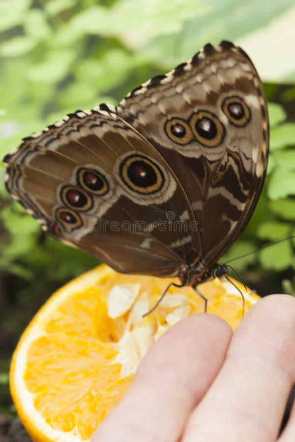 Butterffly på frukt royaltyfria bilder