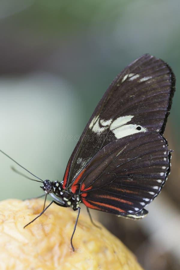 Butterffly på frukt fotografering för bildbyråer