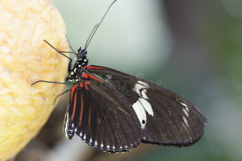 Butterffly på frukt arkivfoton