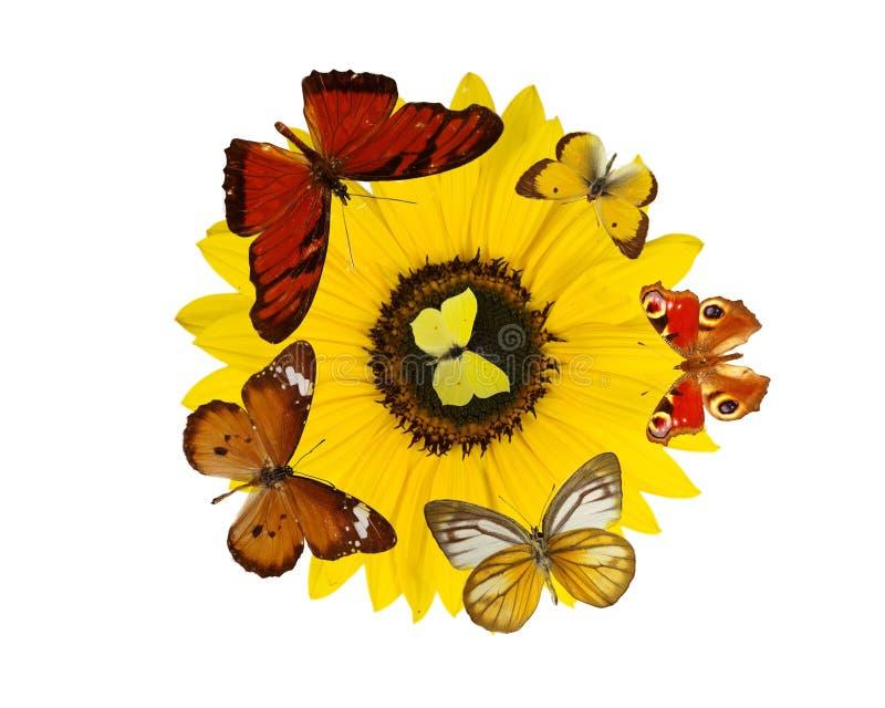 Butterfiles colorati esotici sul fiore del fiore del sole immagini stock