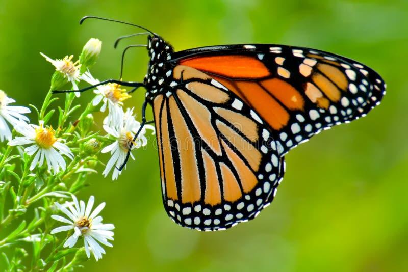 Butterfli es som parar royaltyfria foton