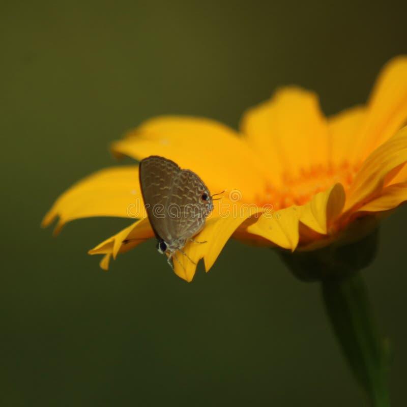 Butterflie em uma flor amarela bonita fotos de stock royalty free
