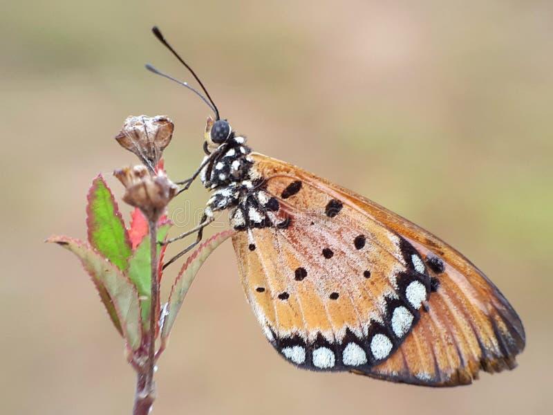 Butterfliege stockfotografie