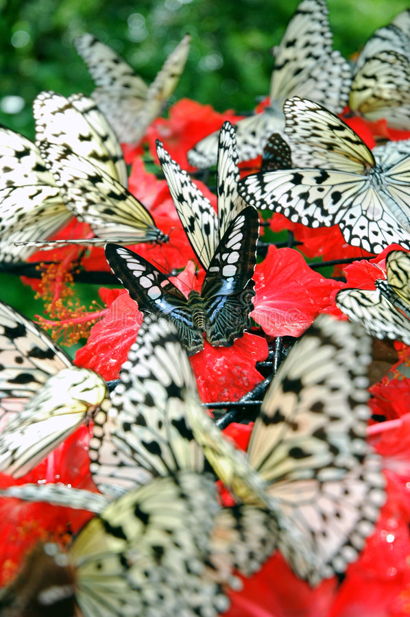 Free Butterflies Royalty Free Stock Photography - 277577