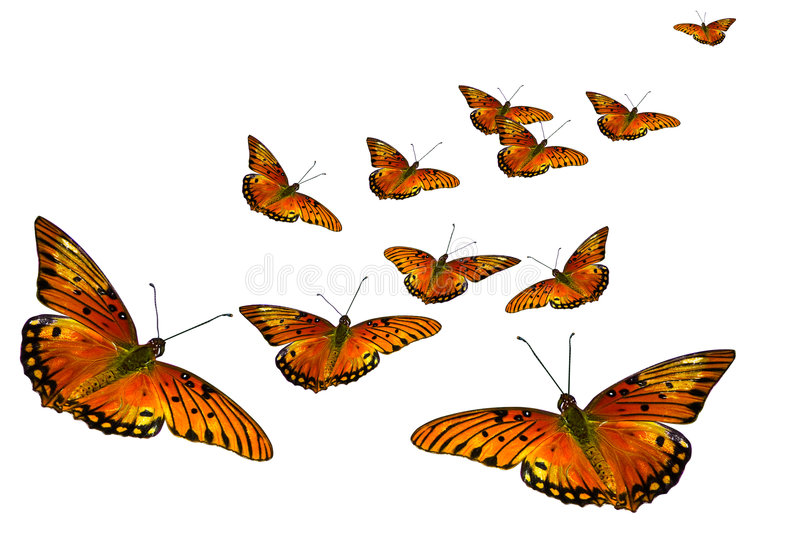 Butterflies. Group of orange butterflies isolated on white background