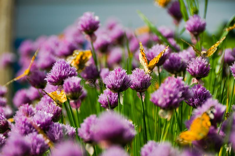 Butterflies in a blooming onion royalty free stock image