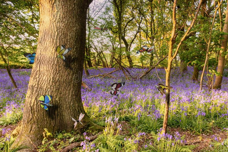 Butterflies in a bluebell woodland stock images