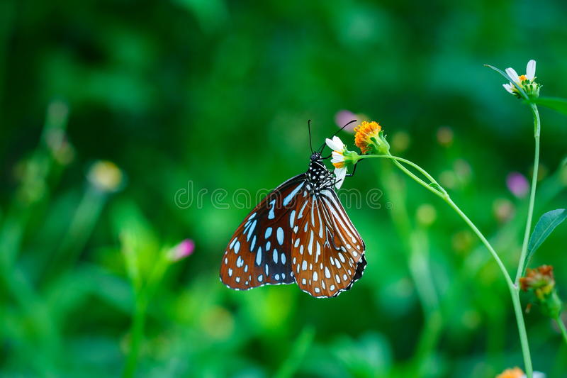Butterflies ,bug, butterfly, insect. Butterflies ,bug, butterfly of Thailand royalty free stock images