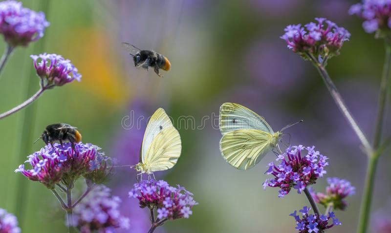 Butterflies and bumblebees on flowers close up. In the garden royalty free stock images