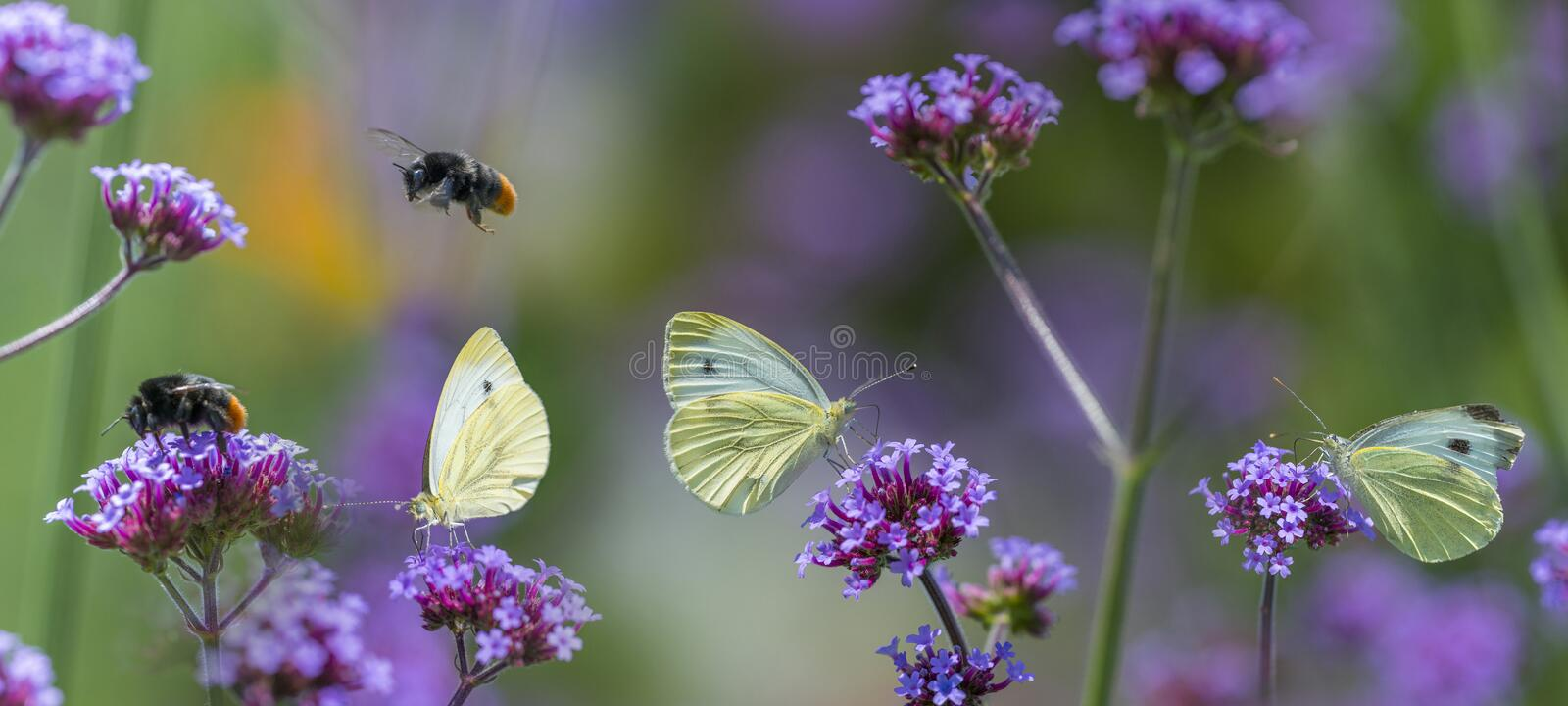Butterflies and bumblebees on flowers close up. In the garden stock image