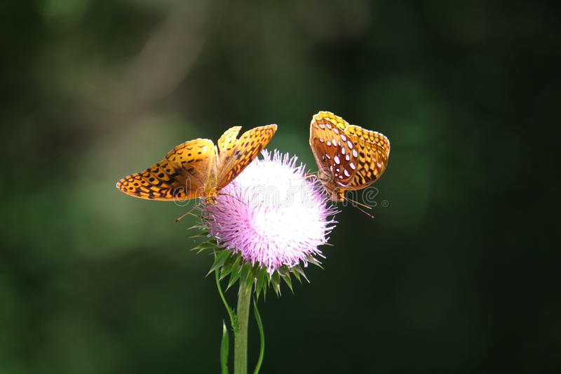 Butterflies. Collecting pollen on pink flower stock images