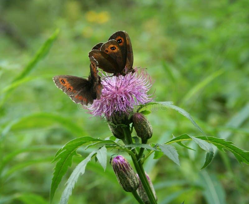 Butterflies Erebia aethiops royalty free stock image