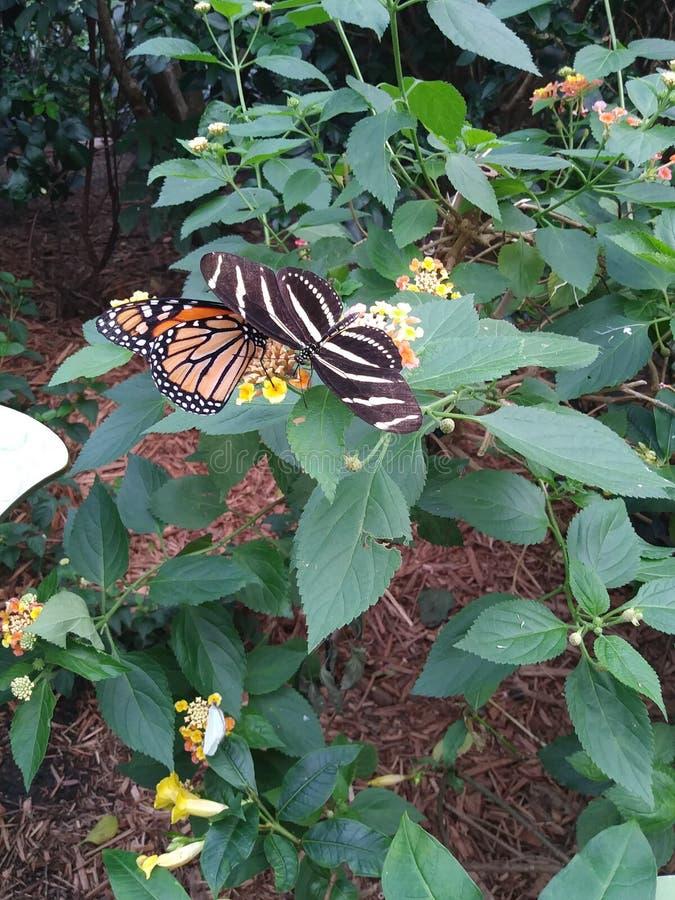 Butterflies stock photo