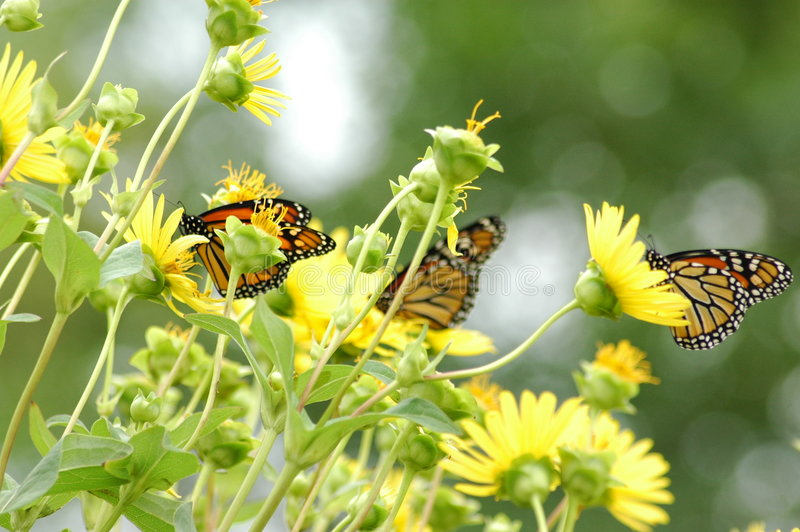 Butterflies on flower royalty free stock photos