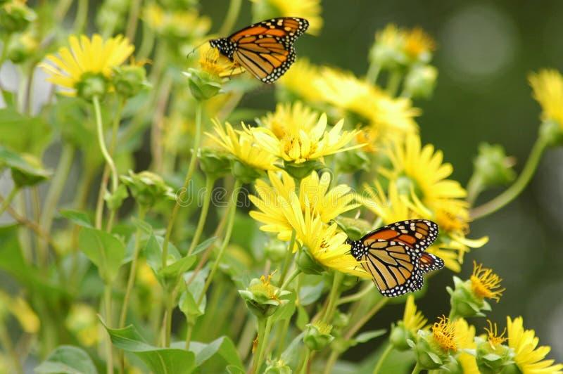 Butterflies on flowers stock image