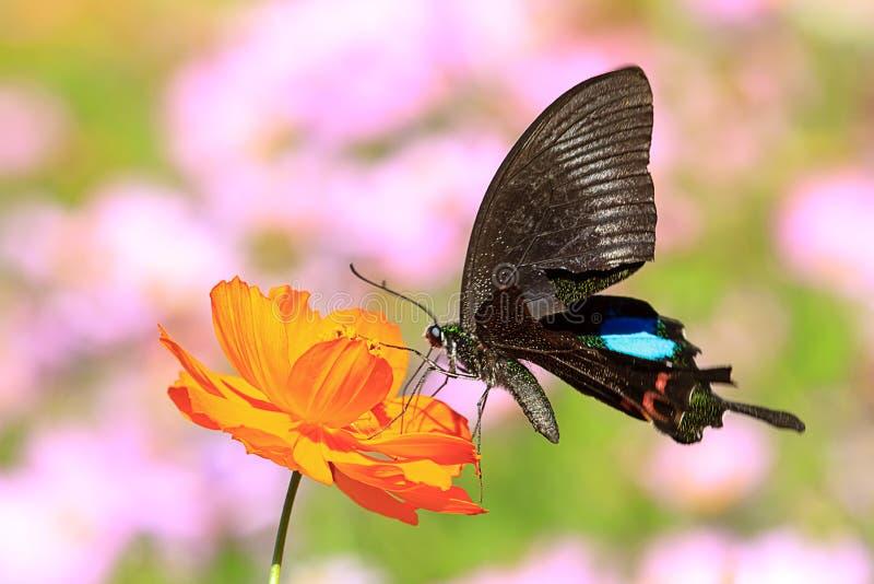 Butterflies flying. In cosmos flowers stock image