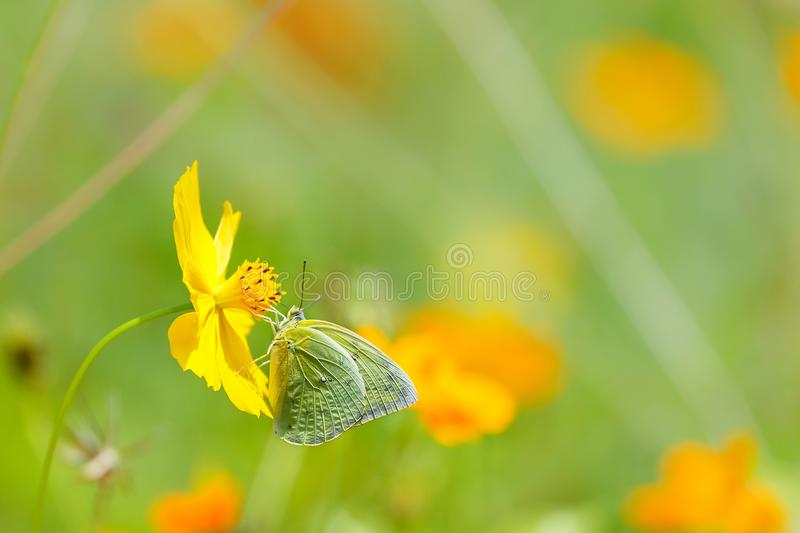 Butterflies in the garden,butterfly on orange flower Background blur. stock image