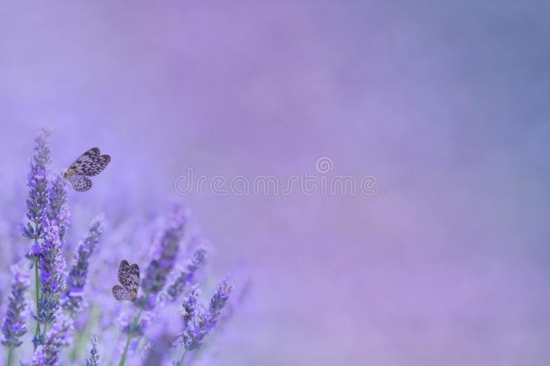 Lavender flowers and butterflies. Butterflies on lavender flower blooms with bokeh purple copy space stock images