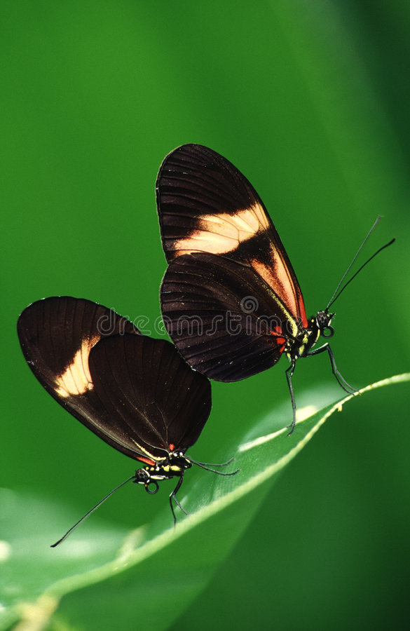 Butterflies in love stock photography