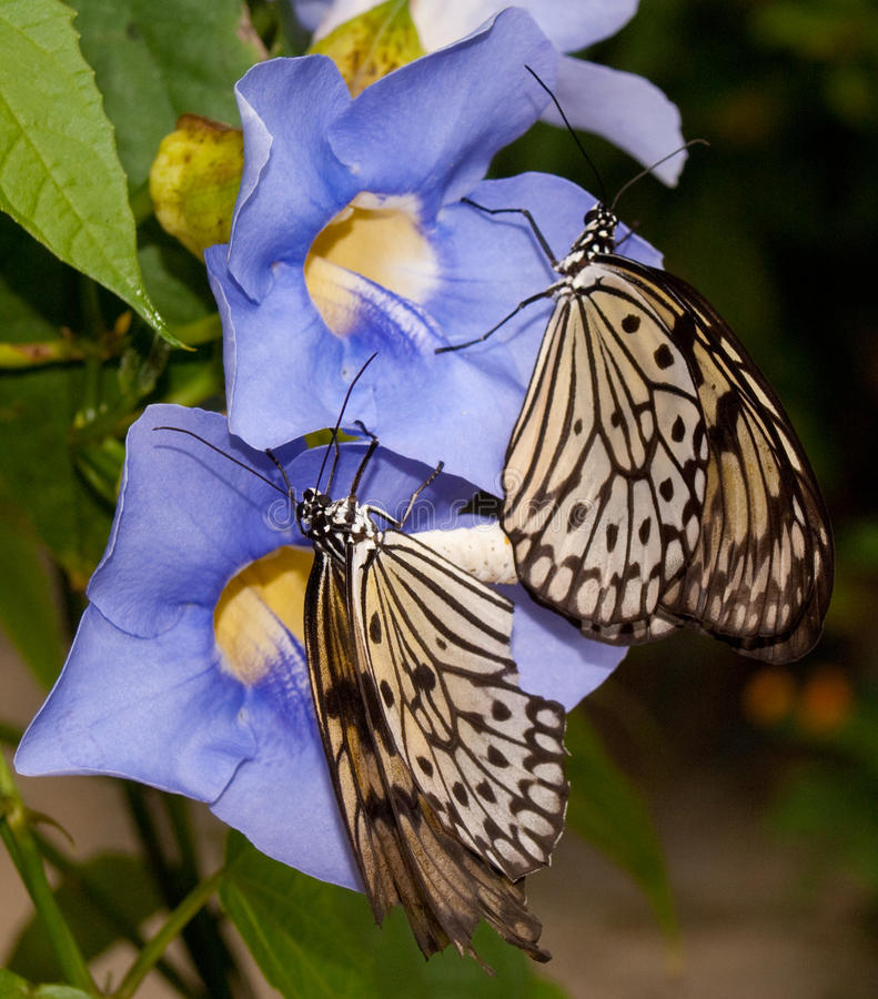 Butterflies mating on flower royalty free stock images