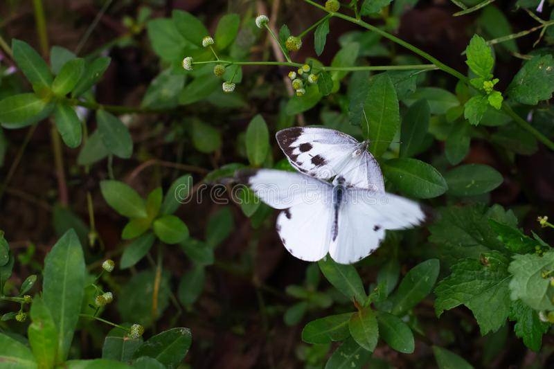 Butterflies are mating royalty free stock images