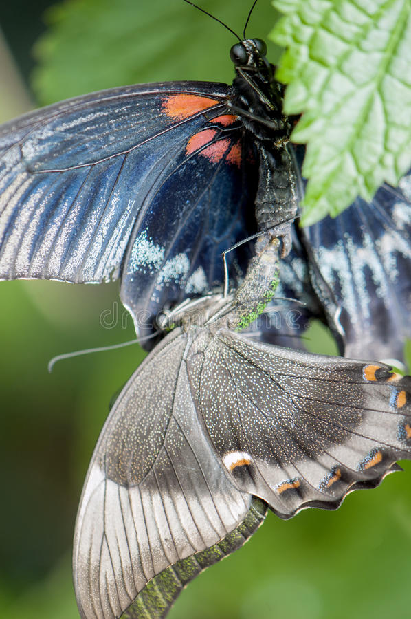 Butterflies mating. Great mormon (Papilio memnon agenor) butterflies mating or reproducing stock images