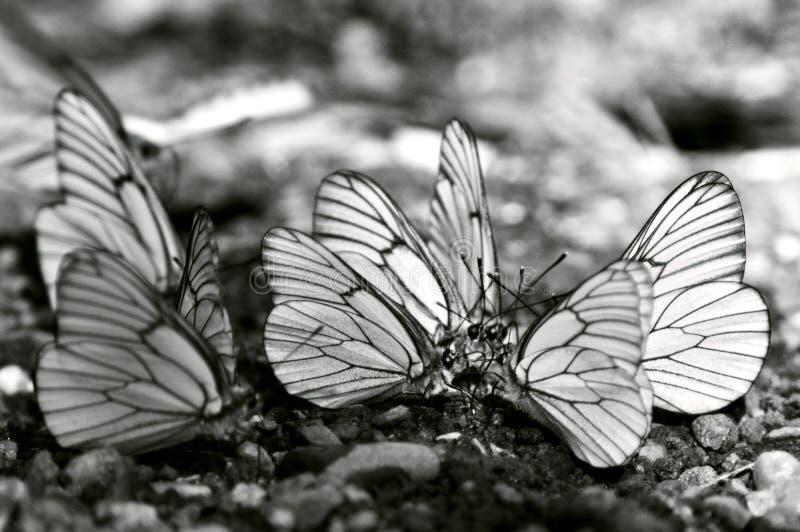 Butterflies meeting stock images