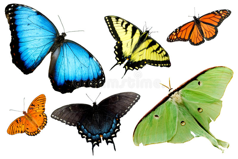 Butterflies and Moths on White Background. A montage of butterflies and moths isolated on white background, horizontal royalty free stock photo