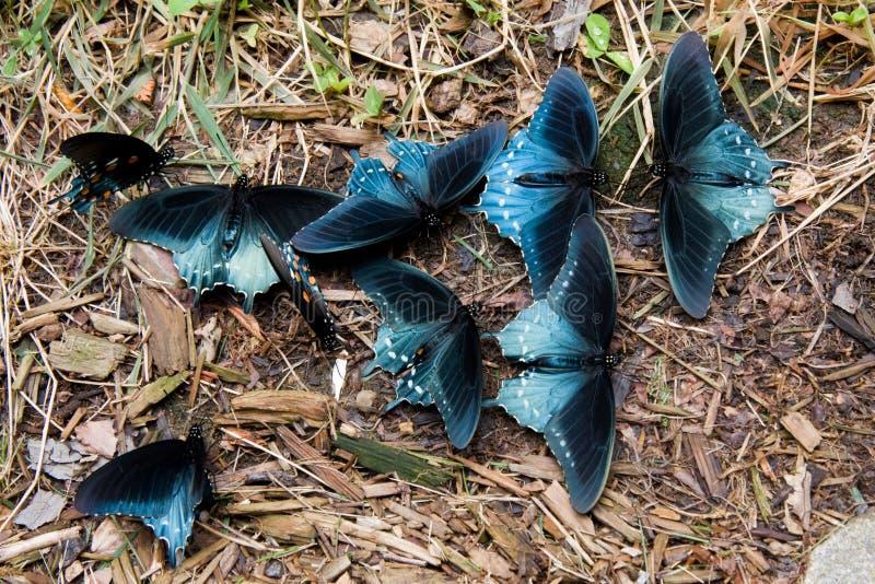 butterflies pipevine swallowtail стоковые фотографии rf