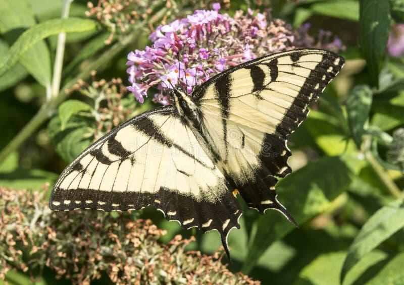 butterflies pipevine swallowtail arkivfoto