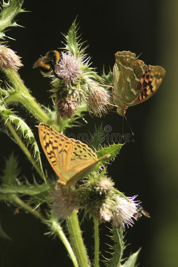 Download Butterflies on a prickle stock image. Image of summer - 39501837
