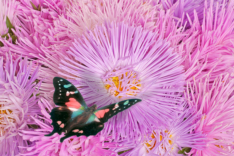 Download Butterflies On The Purple Aster Flowers Stock Photo - Image: 21159128