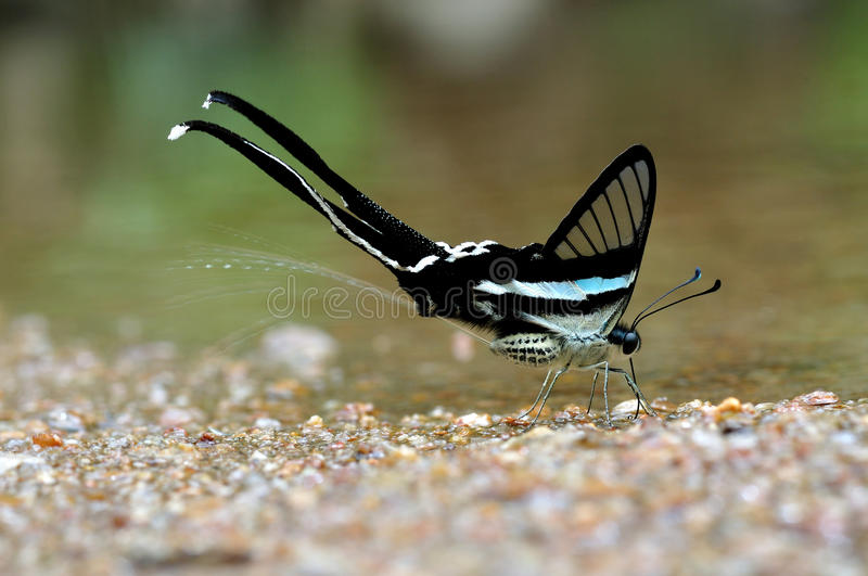 Butterflies are spraying water (Green Dragontail) stock images