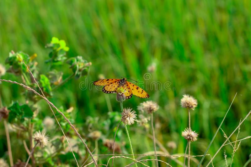 Butterflies are sucking nectar from yellow flowers royalty free stock image