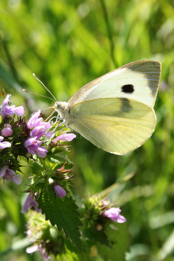 Download Butterfly stock image. Image of insect, white, cabbage - 1032439