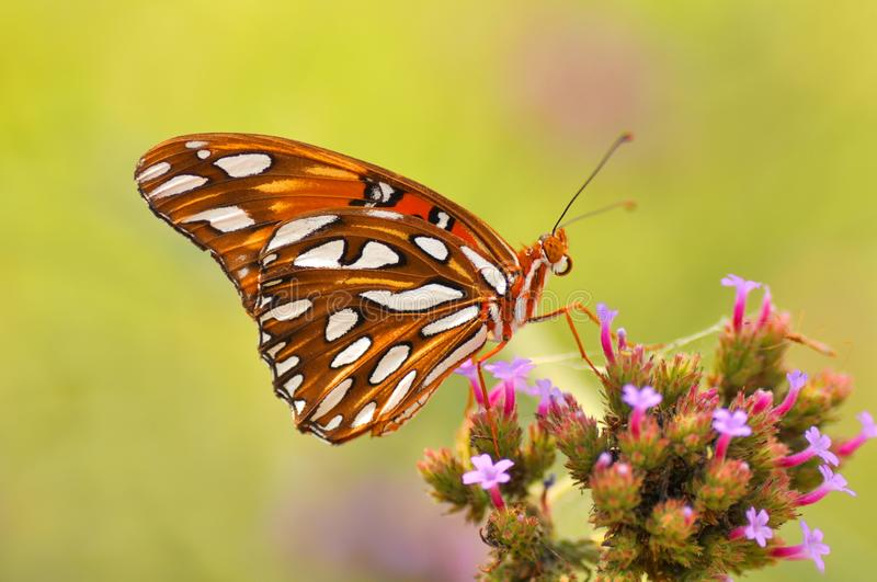 Butterfly. A colorful butterfly feeding nector with copy space stock image