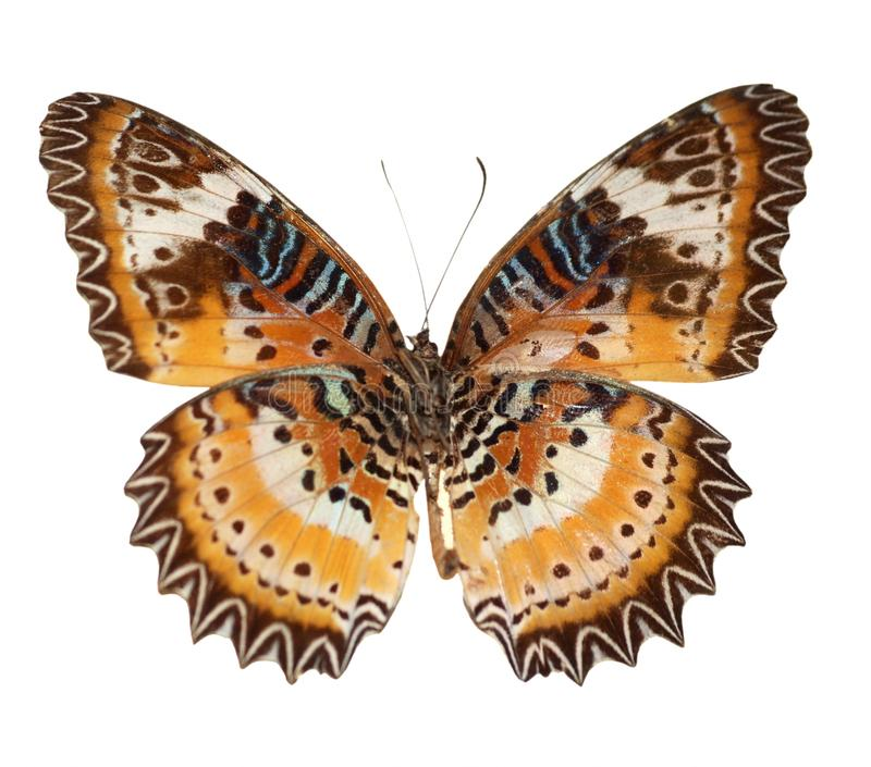 Butterfly. A red lacewing butterfly (Cethosia bibles) isolated in white royalty free stock photo