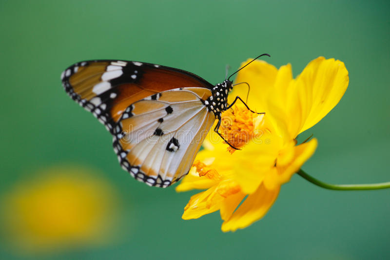 Butterfly on yellow daisy flower