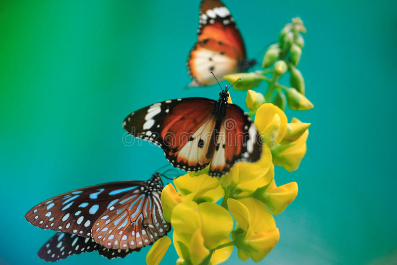Butterflies, yellow flower on turquoise background royalty free stock photography