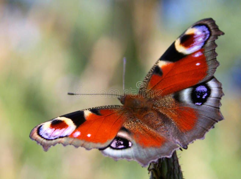 Download Butterfly stock image. Image of russia, flora, garden - 12127637