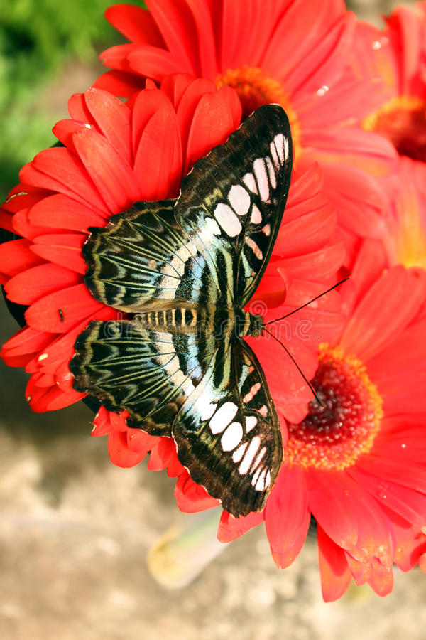 Free Butterfly Royalty Free Stock Photo - 13839555