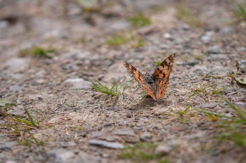 Tortoiseshell Butterfly In Bright Sunlight on A Stony Path orange wing green grass stone rock brown grey Scotland insect bokeh royalty free stock photography
