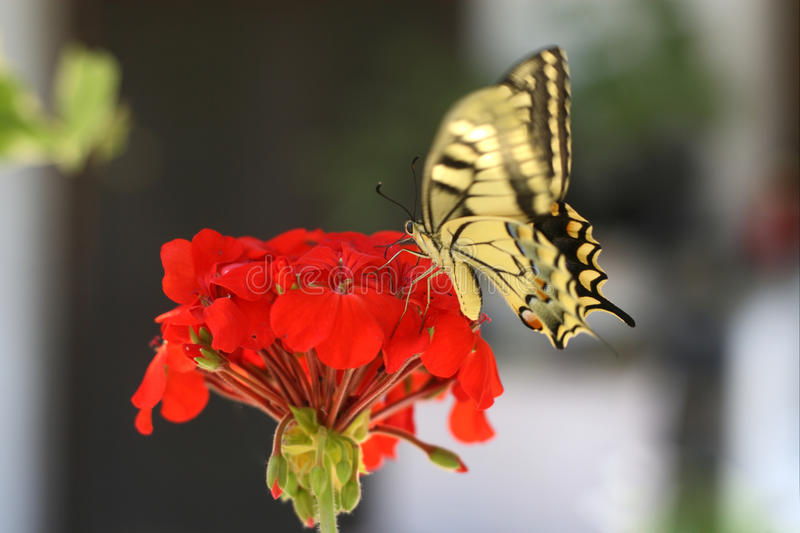 Butterfly. Eastern tiger swallowtail butterfly on a red flower stock photos