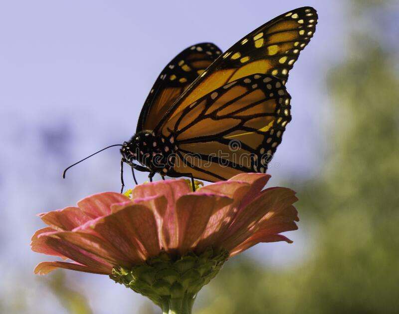 A Sunny Day Brings The Butterflies. Under the blue skies a monarch butterfly takes its time while feasting on the pink zinnia flower royalty free stock photography